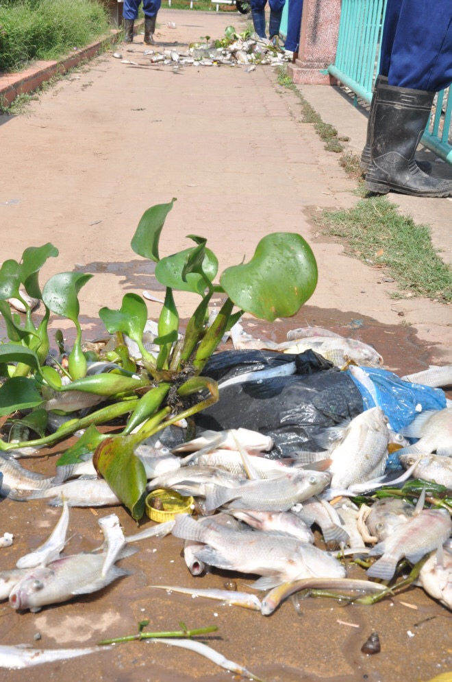 Số cá chết được vớt lên vẫn chưa dừng lại. Hàng tấn cá đã chết nổi như thế này từ đêm qua cho đến sáng nay